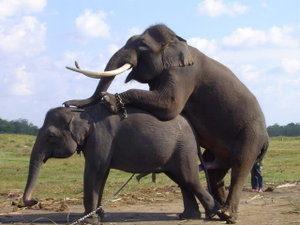 gajah birahi